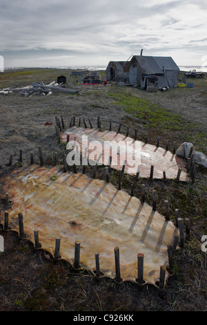 Bearded seal hides staked out to dry near family summer hunting camp, Shishmaref Island, Arctic Alaska, Summer - Stock Photo