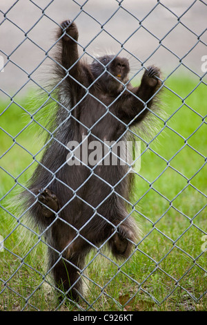 Porcupine climbing a fence in a downtown Anchorage neighborhood, Southcentral Alaska, Summer - Stock Photo