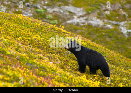 A black bear foraging for berries on a hillside near the Harding Icefield Trail, Kenai Fjords National Park, Seward, - Stock Photo