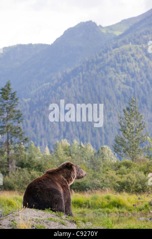 An adult Brown bear sits on a mound with the Chugach Mountains in the background, Alaska. - Stock Photo