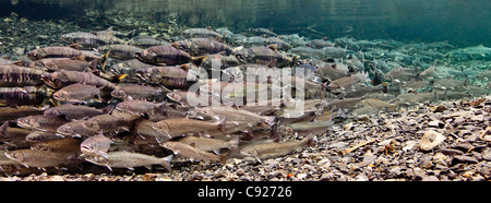 Underwater view of sea-run Dolly Varden char, maturing Chum & Pink salmon in Hartney Creek, Copper River Delta, - Stock Photo