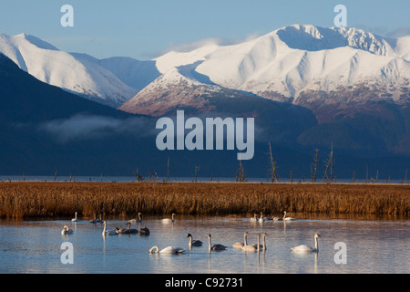 A grouping of Tundra and Trumpeter Swans feed in a pond near Girdwood, Turnagain Arm, Alaska - Stock Photo