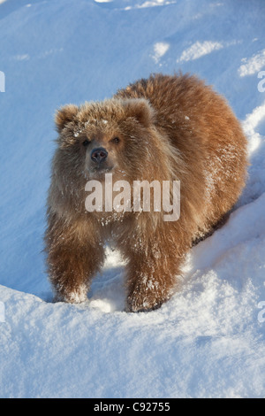 CAPTIVE: Kodiak Brown bear female cub stands on a snowy hill, Alaska Wildlife Conservation Center, Southcentral, - Stock Photo