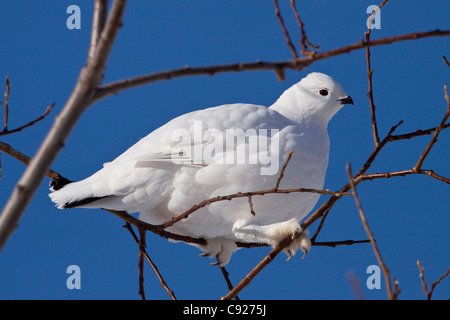 A Willow Ptarmigan in white winter plumage sits in brush and eats buds, Arctic Valley near Anchorage, Alaska, Winter - Stock Photo