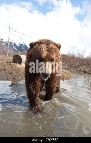 CAPTIVE: Brown bear walking forward in stream at Alaska Wildlife Conservation Center, Southcentral Alaska, Spring - Stock Photo