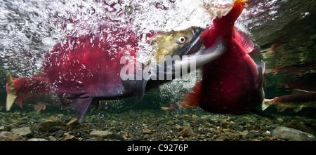 Underwater view of fighting Sockeye salmon males in Power Creek, Copper River Delta near Cordova, Prince William - Stock Photo