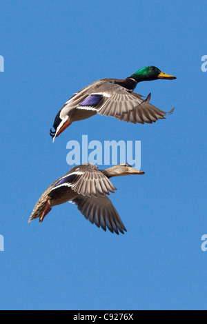 Drake and hen Mallards spread their wings and prepare to land at a small pond in Anchorage, Southcentral Alaska, - Stock Photo