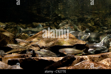 Underwater view of stream resident coastal Cutthroat trout near Pink salmon spawners in Eccles Creek, Alaska - Stock Photo