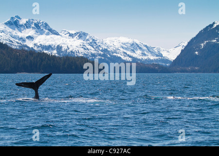 Humpback whale performs a tail slap on a sunny day with snow capped mountains in the background, Knight Island Passage, - Stock Photo