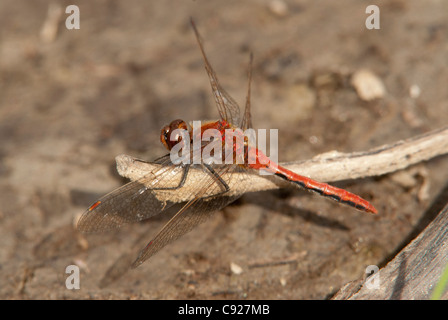 Close-up of Cherry-faced Meadowhawk dragonfly perched on a twig, Fairbanks, Interior Alaska, Summer - Stock Photo