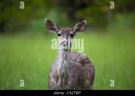 Close up of a Sitka Black tail deer on Prince of Wales Island, Tongass National Forest, Southeast Alaska, Summer - Stock Photo