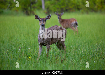 Female Sitka Black-tailed deer with male in the background on Prince of Wales Island, Tongass National Forest, Southeast - Stock Photo