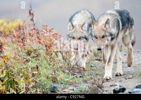 Two half-grown Gray Wolves from the Grant Creek Pack walking near Polychrome Pass, Denali National Park, Interior - Stock Photo
