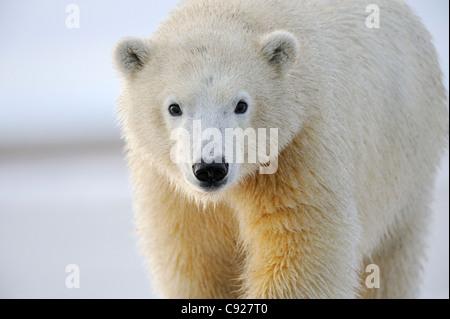Portrait of a sub adult polar bear near Kaktovik on the northern edge of ANWR, Arctic Alaska - Stock Photo
