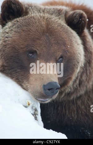 CAPTIVE: Adult Grizzly sow rests her head on a snowcovered log, Portage Valley, Alaska