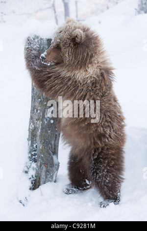 CAPTIVE: female Brown bear cub from Kodiak stands and holds onto a log the Alaska Wildlife Conservation Center, - Stock Photo