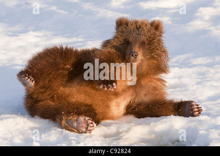 CAPTIVE: Female Kodiak Brown bear rolls in the fresh snow at the Alaska Wildlife Conservation Center, Southcentral - Stock Photo