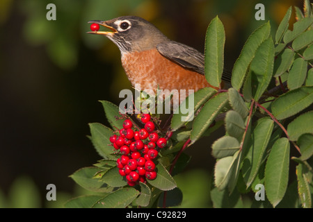 American Robin perched on branch eating a Mountain Ash berry, Cordova, Southcentral Alaska, Autumn - Stock Photo