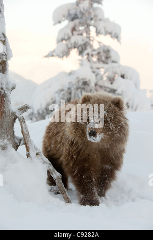 CAPTIVE: Female Kodiak Brown bear cub walks in the snow with her face covered in snow, Alaska - Stock Photo