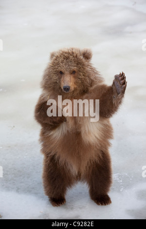 CAPTIVE: Female Brown bear cub from Kodiak stands on hind feet and waves with paw, Alaska - Stock Photo