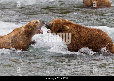 Two Brown Bear males fight in the water near Brooks Falls, Brooks Camp, Katmai National Park, Southwest, Alaska, - Stock Photo