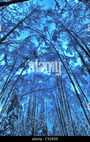 Canopy of snow covered birch and aspen trees in Kincaid Park, Anchorage, Southcentral Alaska, Winter. HDR image - Stock Photo