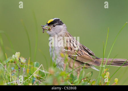 Close up of a Golden-crowned Sparrow with its bill full of worms to feed young, Arctic Valley, Chugach State Park, - Stock Photo