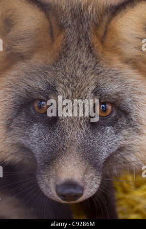 CAPTIVE: Close up of a Cross-phase Red fox in its cage prior to release into the wild, Alaska - Stock Photo