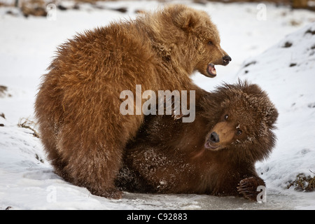 CAPTIVE: Pair of Kodiak brown bear cubs play and wrestle in the snow at Alaska Wildlife Conservation Center, Alaska - Stock Photo