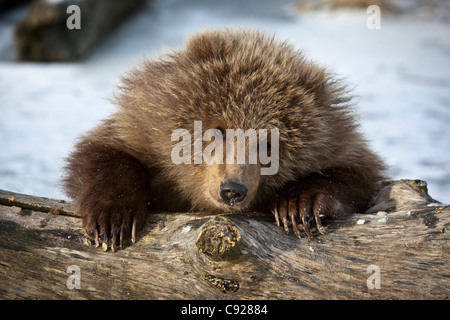 CAPTIVE: Kodiak Brown bear cub peeks over a snow covered log, Southcentral, Alaska, Winter - Stock Photo