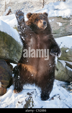 CAPTIVE: Kodiak Brown bear cub stands on hind feed and waves, Southcentral, Alaska, Winter - Stock Photo