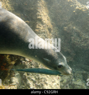 Galapagos sea lion (Zalophus californianus wollebacki) caught a fish in its mouth, Bartolome Island, Galapagos Islands, - Stock Photo