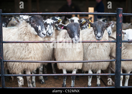 Sheep for sale at a livestock market at Hawes agricultural auction, Yorkshire Dales England UK - Stock Photo