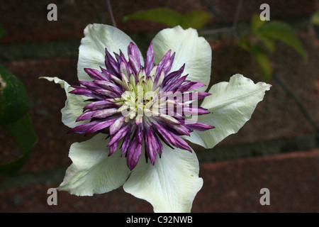 Clematis Florida 'Sieboldii' White main petals with large frill purple middle - Stock Photo