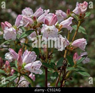 A light pink rhododendron growing in the Phobjikha Valley. - Stock Photo