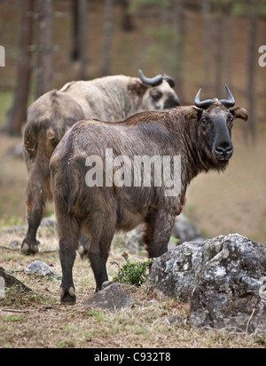 The strange Takin is Bhutan national animal because of its uniqueness and strong association with the countrys mythology. - Stock Photo