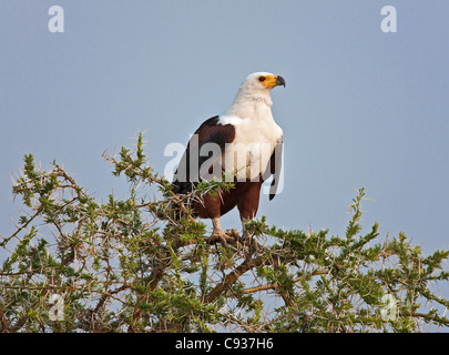 An African Fish Eagle at Lake Naivasha. - Stock Photo