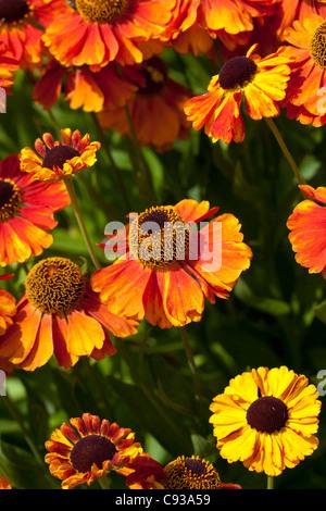 Helenium 'Sahin's Early Flowerer' - Stock Photo