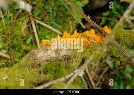 Yellow Brain Fungus, tremella mesenterica - Stock Photo