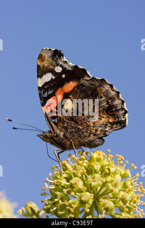 RED ADMIRAL BUTTERFLY (Vanessa atalanta) feeding on ivy flower in early autumn, Sussex, UK. September - Stock Photo