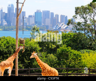 Giraffe's in their enclosure at Taronga Zoo on the shores of Sydney Harbour in the suburb of Mosman with the Sydney - Stock Photo