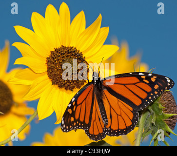 Monarch butterfly feeding on a sunflower against clear blue sky - Stock Photo