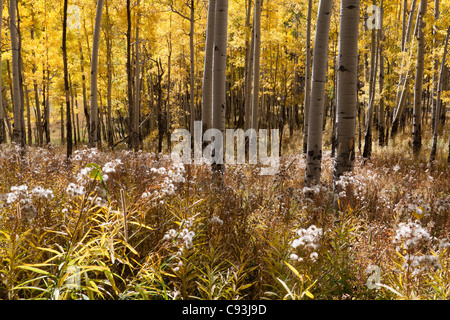 Sunlight shining through grove of yellow aspen trees in autumn onto meadow of tall grass