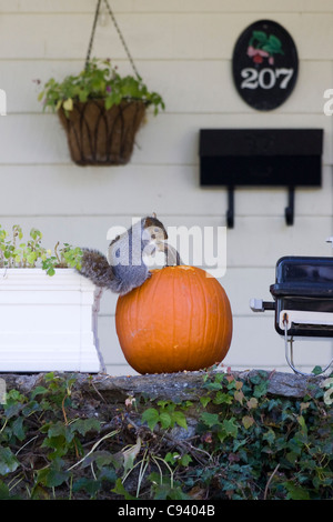A Grey Squirrel Sciuridae tucking into a Winter Squash in Connecticut New England USA  Halloween and Thanksgiving - Stock Photo