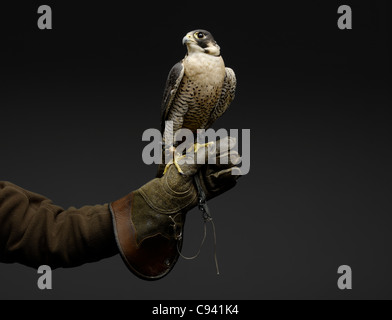 Peregrine Falcon resting on gloved Falconer's hand. - Stock Photo