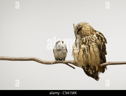 Scops and Eagle Owls sitting together on a branch looking at each other - Stock Photo