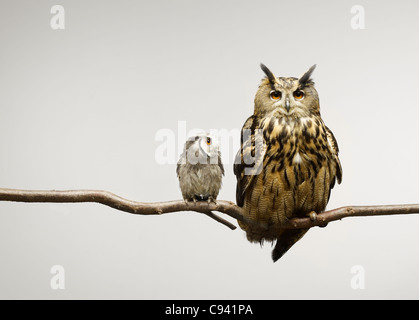 Scops and Eagle Owls sitting together on a branch - Stock Photo
