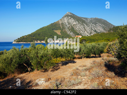 Olive trees on Peljesac peninsula - Stock Photo