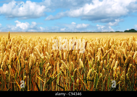 Ripe wheat field on a summer day - Stock Photo