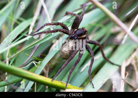 Female raft spider (Dolomedes fimbriatus) carrying egg sac. - Stock Photo